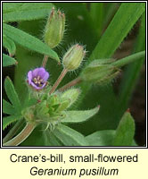 Cranes-bill, small-flowered, Geranium pusillum