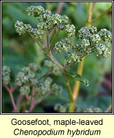 Goose-foot, maple-leaved, Chenopodium hybridum