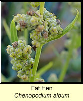 Fat Hen, Chenopodium album