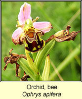Orchid, Bee, Ophrys apifera