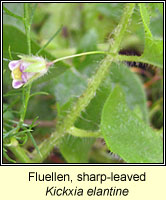Fluellen, sharp-leaved, Kickxia elantine