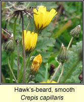 Hawk's-beard, smooth, Crepis capillaris