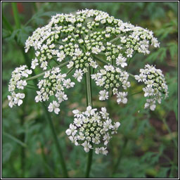 Cow-parsley, Anthriscus sylvestris