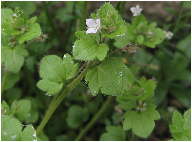 Ivy-leaved Speedwell, Veronica hederifolia