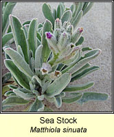 Sea Stock, Matthiola sinuata