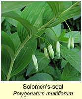 Solomon's-seal, Polygonatum multiflorum