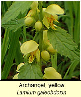 Yellow Archangel, Lamium galeobdolon