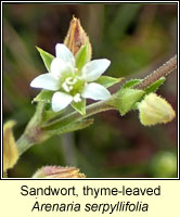 Sandwort, thyme-leaved, Arenaria serpyllifolia ssp serpyllifolia