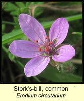 Stork's-bill, common, Erodium circutarium