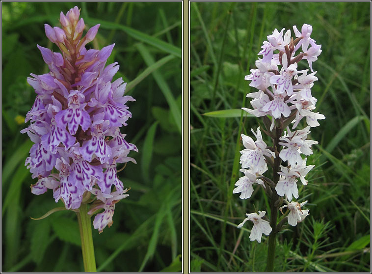 Common Spotted-orchid, Dactylorhiza fuchsii