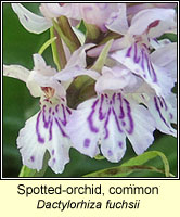 Spotted-orchid, common, Dactylorhiza fuchsii