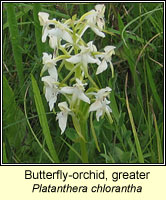 Butterfly-orchid, greater, Platanthera chlorantha