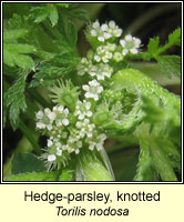Hedge-parsley, knotted, Torilis nodosa