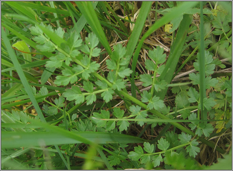 Corky-fruited Water-dropwort, Oenanthe pimpinelloides