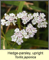 Hedge-parsley, upright, Torilis japonica
