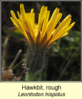 Hawkbit, rough, Leontodon hispidus