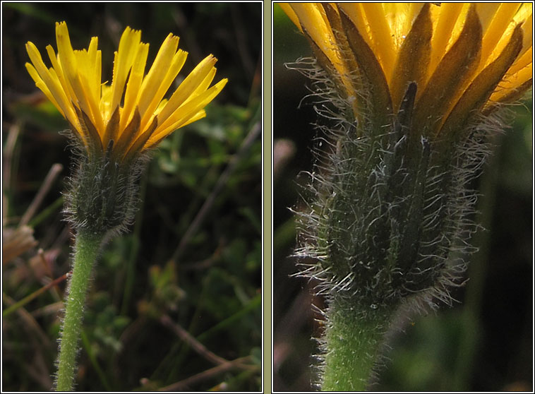 Rough Hawkbit, Leontodon hispidus