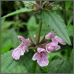 Marsh Woundwort, Stachys palustris