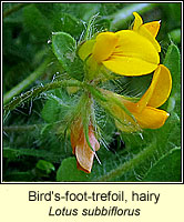 Bird's-foot-trefoil, hairy, Lotus subbiflorus