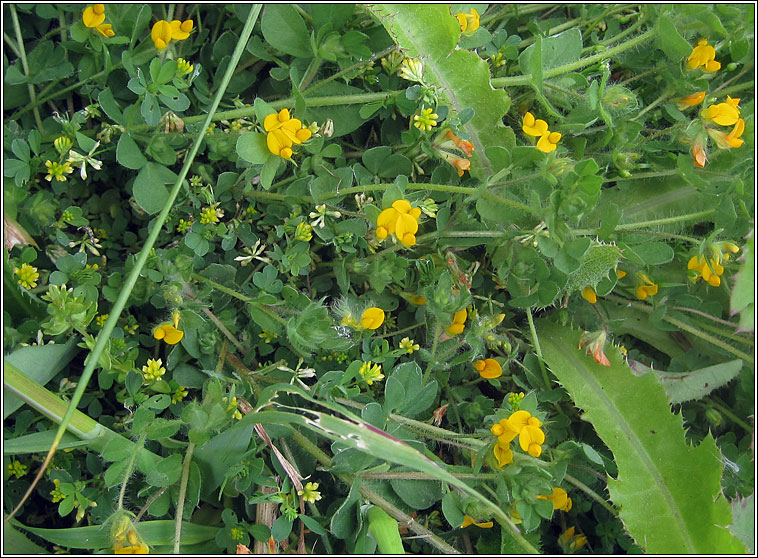 Hairy Bird's-foot-trefoil, Lotus subbiflorus
