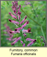 Fumitory, common, Fumaria officinalis