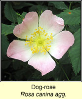 rose, Dog-rose, Rosa canina agg