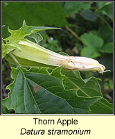 Thorn Apple, Datura stramonium