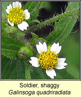 Soldier, shaggy, Galinsoga quadriradiata