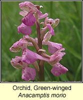 Orchid, green-winged, Anacamptis morio