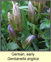 Gentian, early, Gentianella anglica