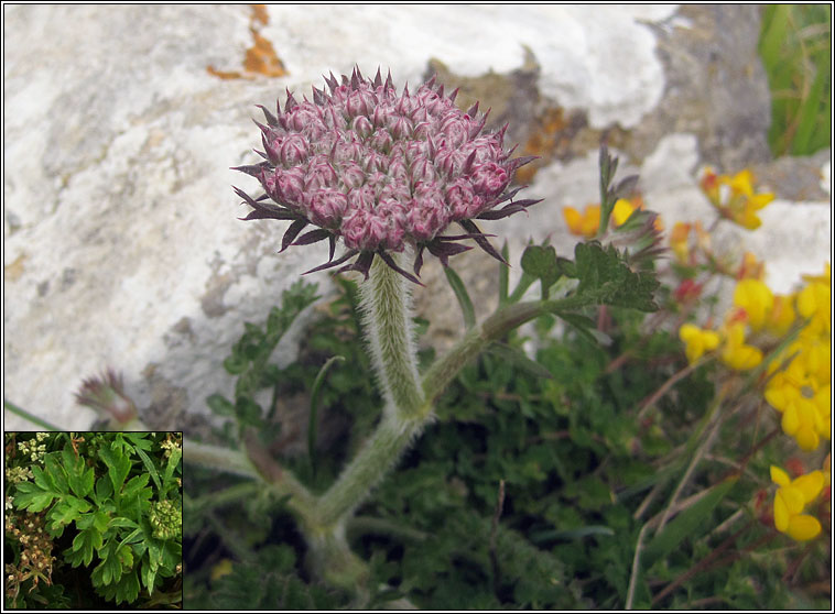 Sea Carrot, Daucus carota subsp gummifer