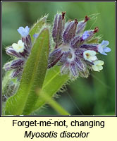 Forget-me-not, changing, Myosotis discolor