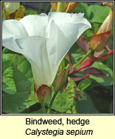 Bindweed, hedge, Calystegia sepium