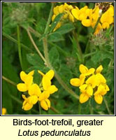 Birds-foot-trefoil, greater, Lotus pedunculatus