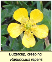 Buttercup, creeping, Ranunculus repens