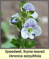 Speedwell, thyme-leaved, Veronica serpyllifolia