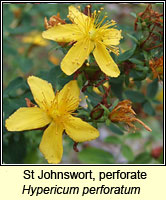 St Johnswort, perforate, Hypericum perforatum