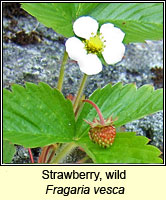 Strawberry, wild, Fragaria vesca