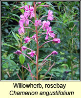 Willowherb, rosebay, Chamerion angustifolium