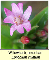 Willowherb, american, Epilobium ciliatum