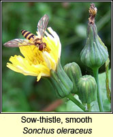 Sow-thistle, smooth, Sonchus oleraceus