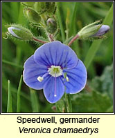 Speedwell, germander, Veronica chamaedrys