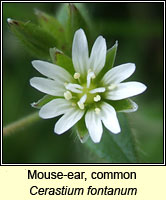 Mouse-ear, common, Cerastium fontanum