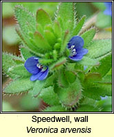 Speedwell, wall, Veronica arvensis
