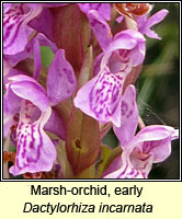 Marsh-orchid, early, Dactylorhiza incarnata