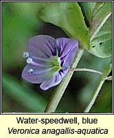 Water-speedwell, blue, Veronica anagallis-aquatica