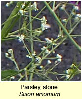 Parsley, stone, Sison amomum