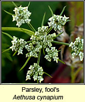 Parsley, fool's, Aethusa cynapium