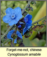 Forget-me-not, chinese, Cynoglossum amabile