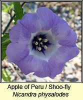 Apple of Peru / Shoo-fly, Nicandra physaloides